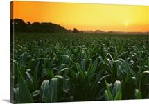 pre tassel corn